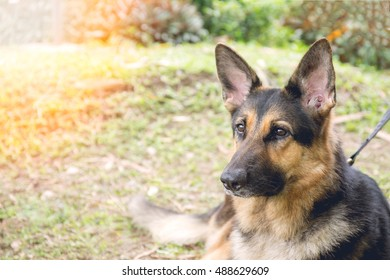 Alsatian dog in police k-9 unit portrait with flare and vintage tone