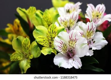 Alstroemeria beautiful plant