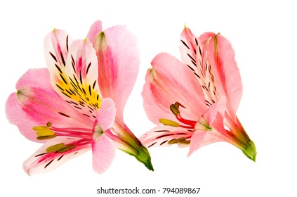 Alstroemeria flower head closeup isolated on white background