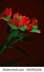 Alstroemeria flower in red-green neon light. Macro photography