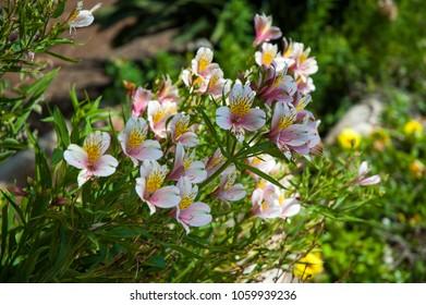 Alstroemeria flowers in the garden