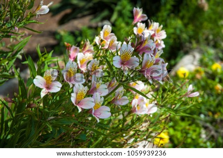 Alstroemeria flowers in the garden