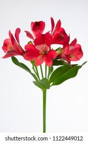 Alstroemeria Forza flower