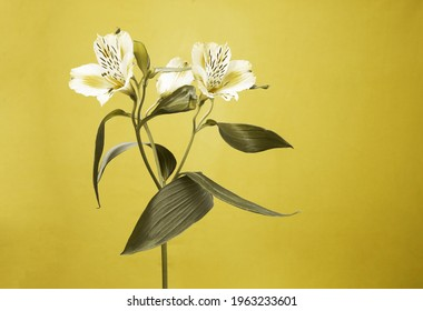 Alstroemeria fresh flower on a yellow background. Color of the year 2021 yellow and grey. High quality photo