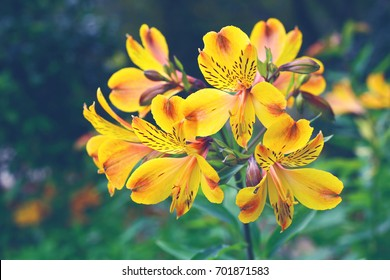 Alstroemeria or Lily of the Incas growing in the garden.