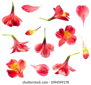 Alstroemeria lily red flower isolated set on white background