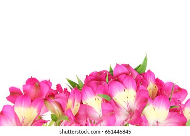 Alstroemeria in a white background