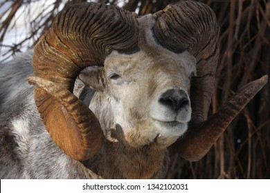 Altai argali close-up portrait (Ovis ammon ammon)