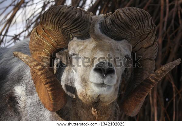 Altai argali close-up portrait (Ovis ammon ammon)