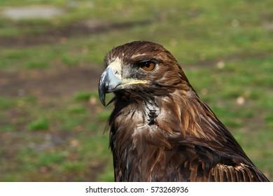 Altai eagle