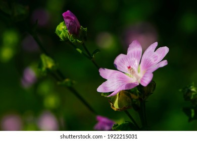 Althaea officinalis. delicate beautiful pink meadow flower. Purple dwarf mallow, Buttonweed flower, Cheeseplant, common mallow, round-leaved mallow. close-up, bokeh, flowers on a green background - Shutterstock ID 1922215031