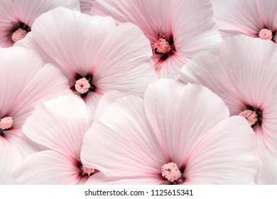 Althaea rosea flower background