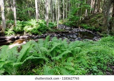 Altja stream running throught the wild forest that covered with ferns. Altja Stream in Lahemaa National Park in Estonia