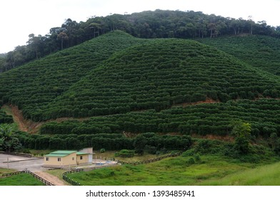 Alto Caparaó, Brazil, April 25, 2019. Coffee plantation on farms in the Serra do Caparaó region in the state of Minas Gerais.