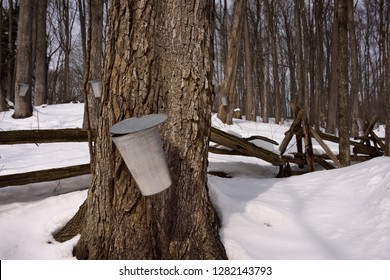 Aluminum buckets on trees in Ontario forest to collect sap for Maple syrup Kortright Centre for Conservation,  Woodbridge, Ontario, Canada - March 1, 2015