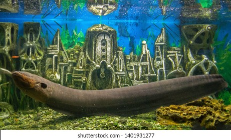 Alushta, Russia - 11 Sep 2016: City Aquarium. Electric eel in underwater ruins of ancient Aztec town.