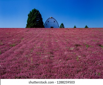 Alyssum flower field and barn near silverton Oregon