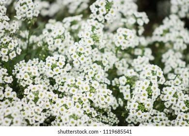 Alyssum maritimum, common name sweet alyssum or sweet alison, also commonly referred to as just alyssum is a species of low-growing flowering plant in the family Brassicaceae.