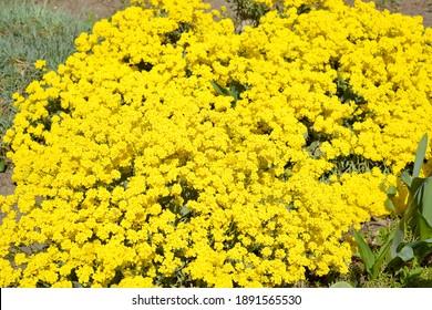 Alyssum yellow flowers (Burachok, Gmelina) mountain (Alyssum montanum L., Alyssum gmelinii)