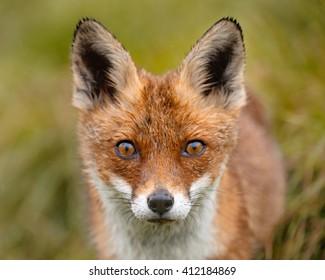 I Am, Red Fox (Vulpes vulpes)