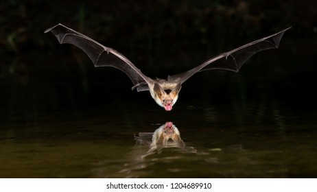 Amado, Arizona, United States - August 28, 2014,  Thursday: Pallid bat flies over a pond to drink water at Elephant Head.
