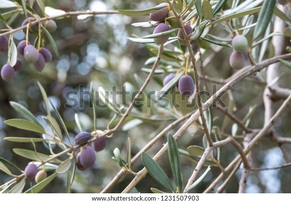 Amalfi Cost Italy Close Olives Growing Stock Photo Edit Now