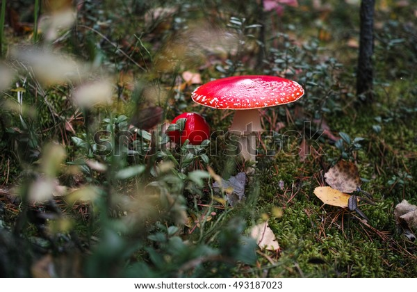 Amanita in autumn forest.