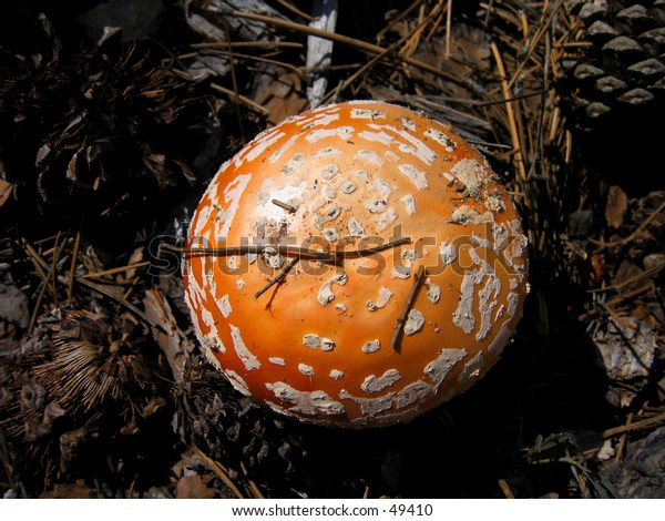 Amanita Muscaria (Fly agaric) mushroom
