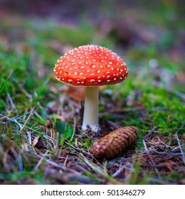 Amanita muscaria in a forest