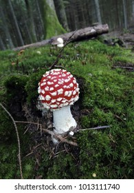 A Amanita muscaria mushroom close-up