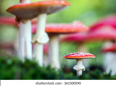 Amanita muscaria, a poisonous mushroom in a forest.