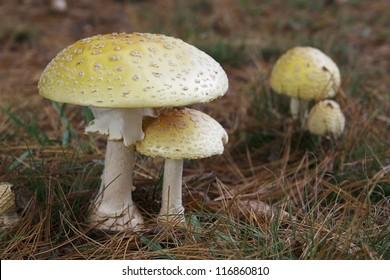 Amanita mushroom species known as Eastern Yellow Fly Agaric under pine trees.