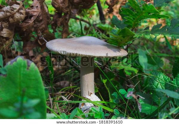 Amanita vaginata, known as grisette, edible wild mushroom fom amanitaceae fungus family.