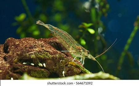 Amano Shrimp in Freshwater Aquarium