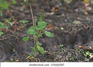 Amaranth, broadleaf weed and folk vegetable