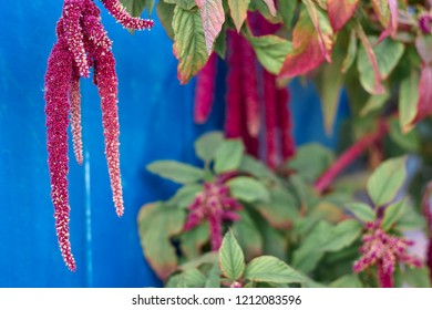 Amaranth is cultivated as leaf vegetables, cereals and ornamental plant. Amaranth seeds are rich source of proteins and amino acids