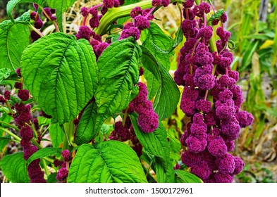 Amaranth is cultivated as leaf vegetables, cereals and ornamental plants . Amaranth seeds are rich source of proteins and amino acids.