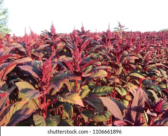 Amaranth field under the morning sunlight rays.