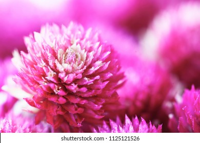 amaranth flower in macro style