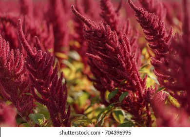 Amaranth flowers plant field in south Poland