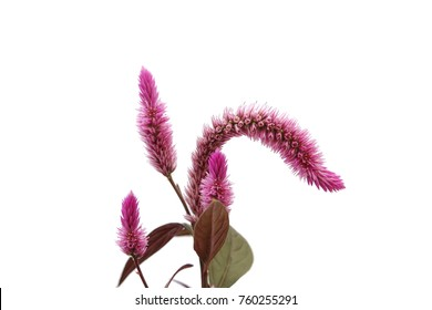 Amaranth isolated on a white background.