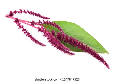 Amaranth Plant. Also Amaranthus, Amarant, Amarantos or Pigweed. Isolated on White Background.