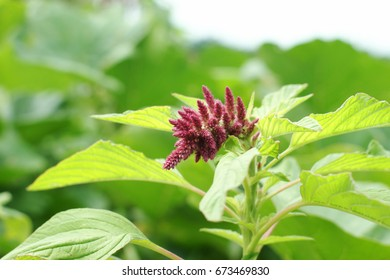 Amaranth plant in garden, focus on young flower