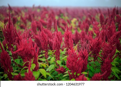 Amaranthus field natural superfood plant beautiful and misty landscape in south Poland