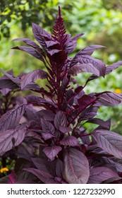 Amaranthus, Red Amaranth, Amaranthus cruentus Komo, with purple leaves and violet flowers. Vegetable amaranth.