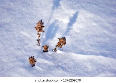 Amaranthus retroflexus (red-root amaranth, redroot pigweed, red-rooted pigweed, common amaranth, pigweed amaranth) dry flowers on white snow background, close up detail