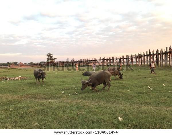 Amarapura Myanmar - Dec 2016: Buffalo family living freely around the U Bein Bridge during the sunset time