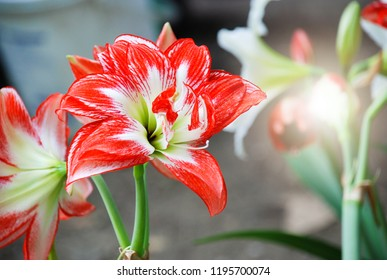 Amarylis flower, full bloom in a tropical botanical garden. Hippeastrum Amaryllis