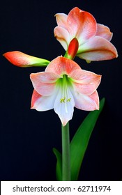 Amaryllis in bloom on a dark background in pink and coral.