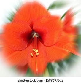 Amaryllis Blossom Orange with Effects